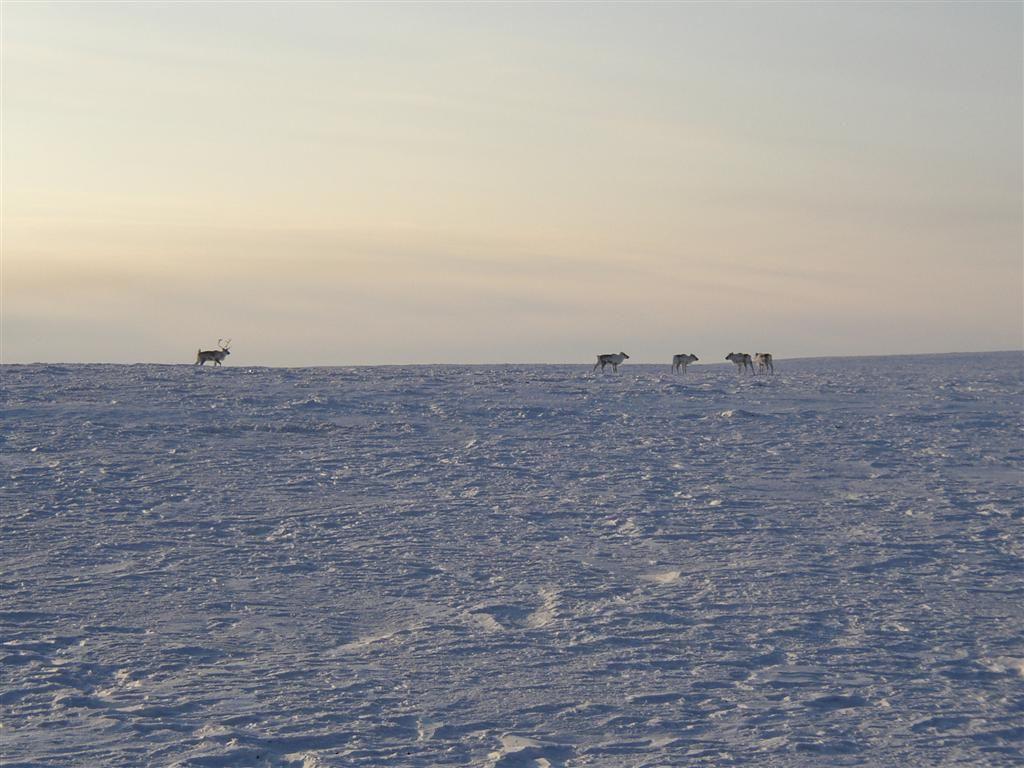 14.04.04 олени хотят чтобы их съели (растояние 50 м) (Large).jpg