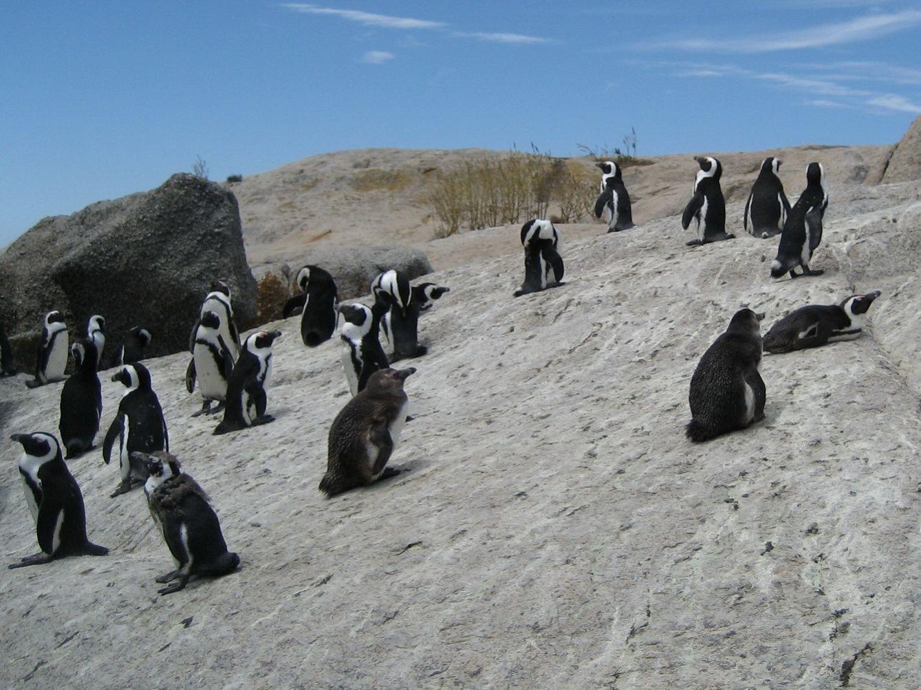 пингвины юар.jpg