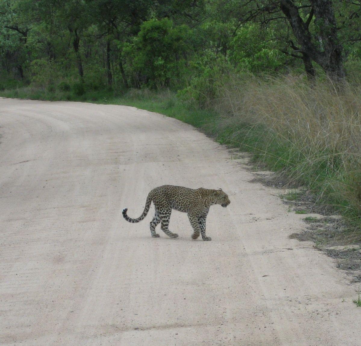 leopard 9.jpg