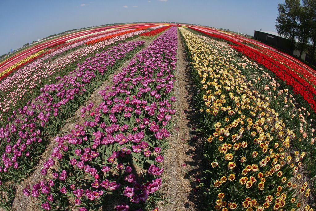 tulips-13-planetflowers.jpg