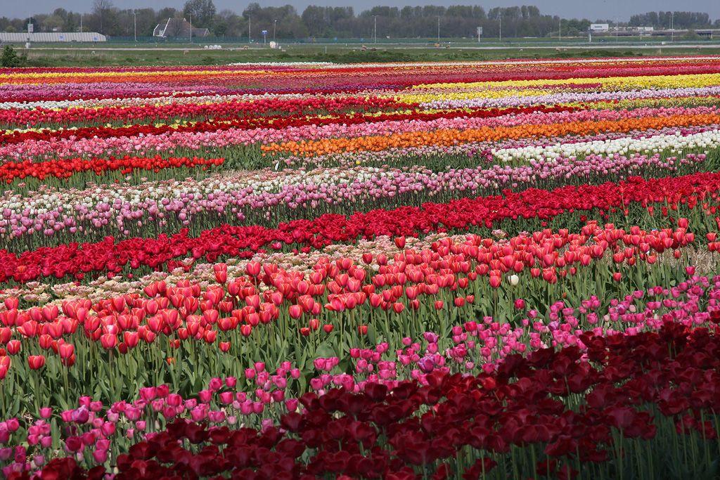 tulips-14-manyflowers.jpg