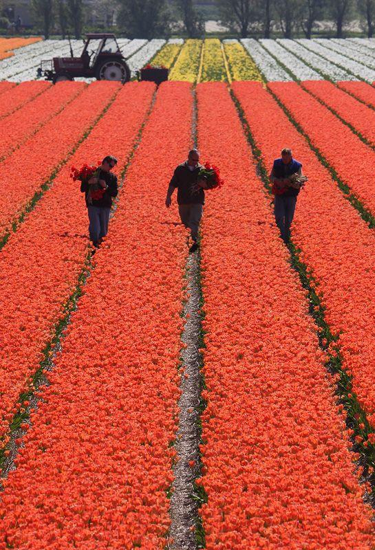 tulips-7-3men.jpg