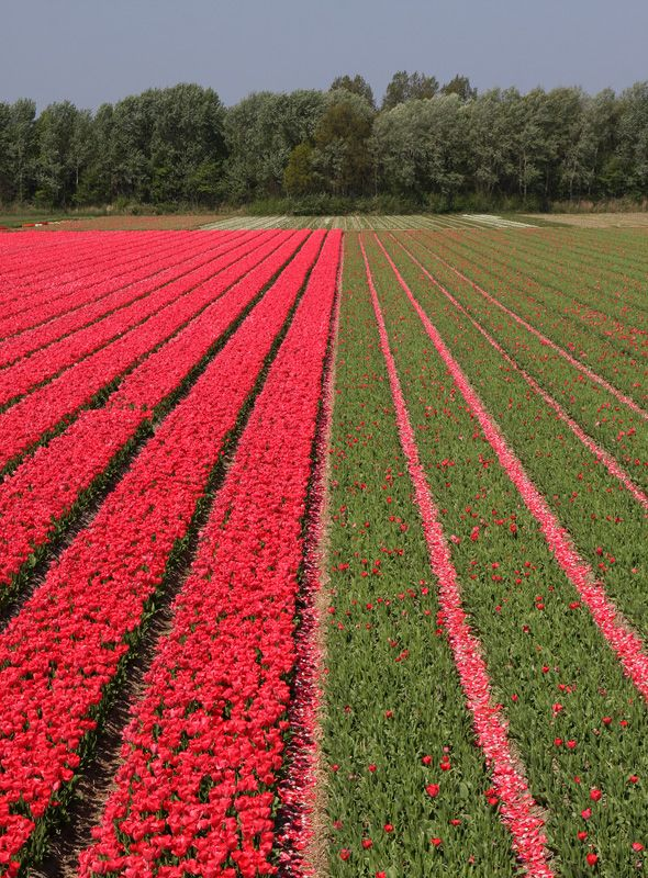 tulips-10-redgreen.jpg