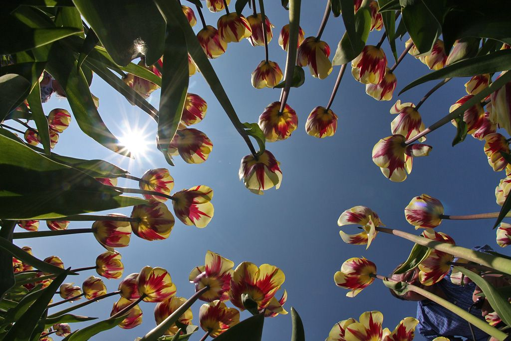 tulips-17-Alkmaar-FE-snizu.jpg
