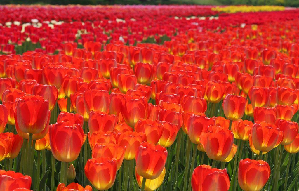 tulips-12-firetulips.jpg