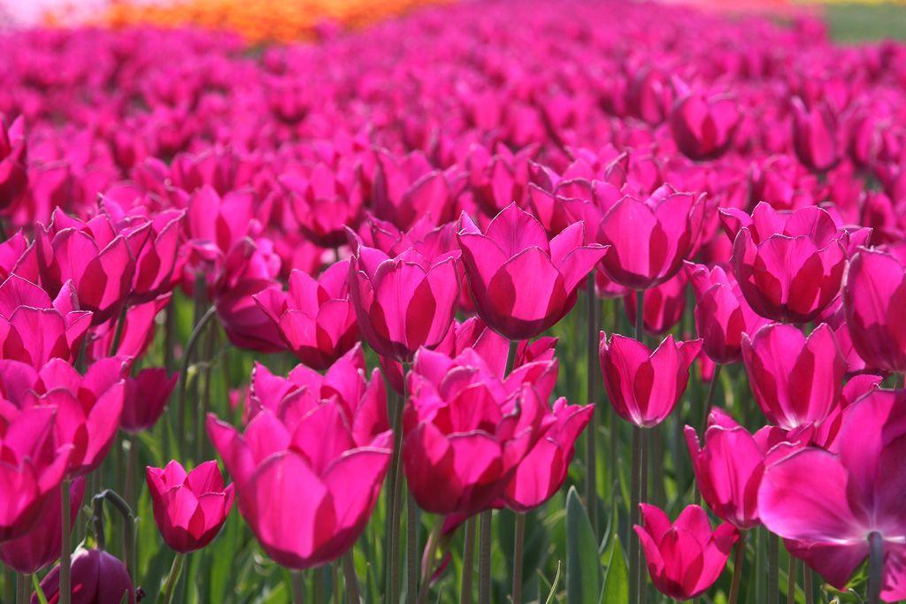 tulips-20-Alkmaar.jpg