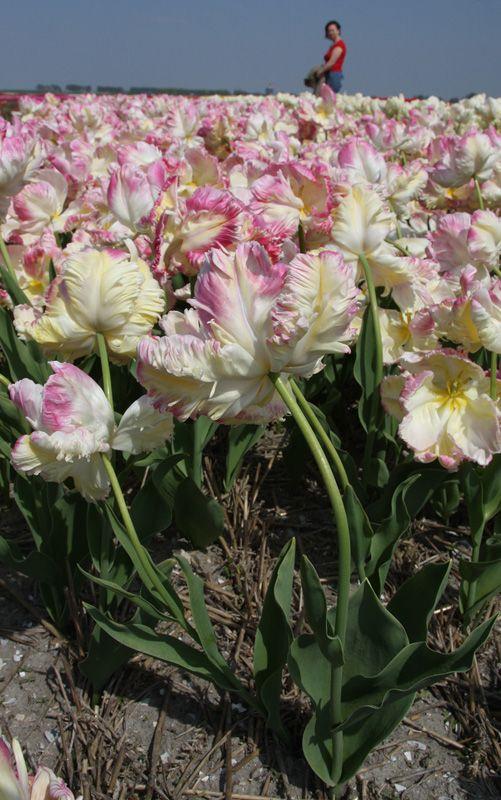 tulips-11-Alkmaar-Mashsa-small.jpg