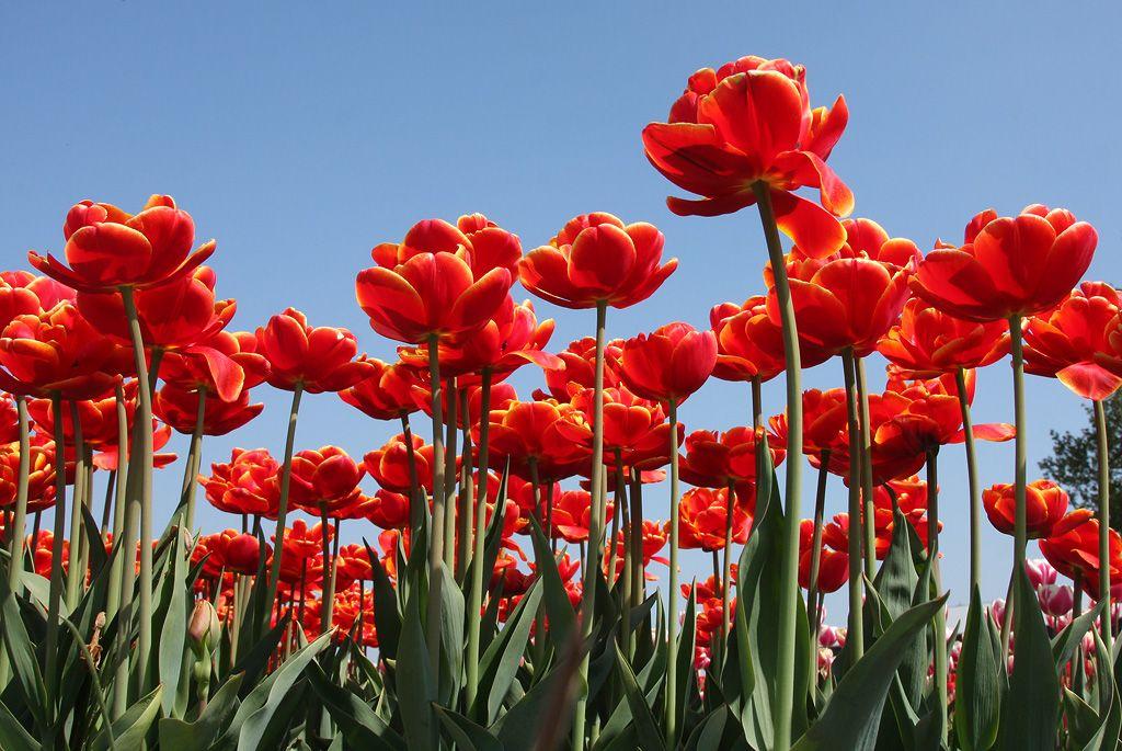 tulips-16-Alkmaar-redsniz.jpg