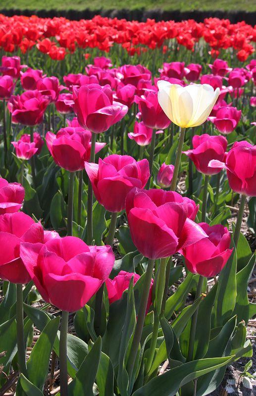 tulips-18-Alkmaar.jpg