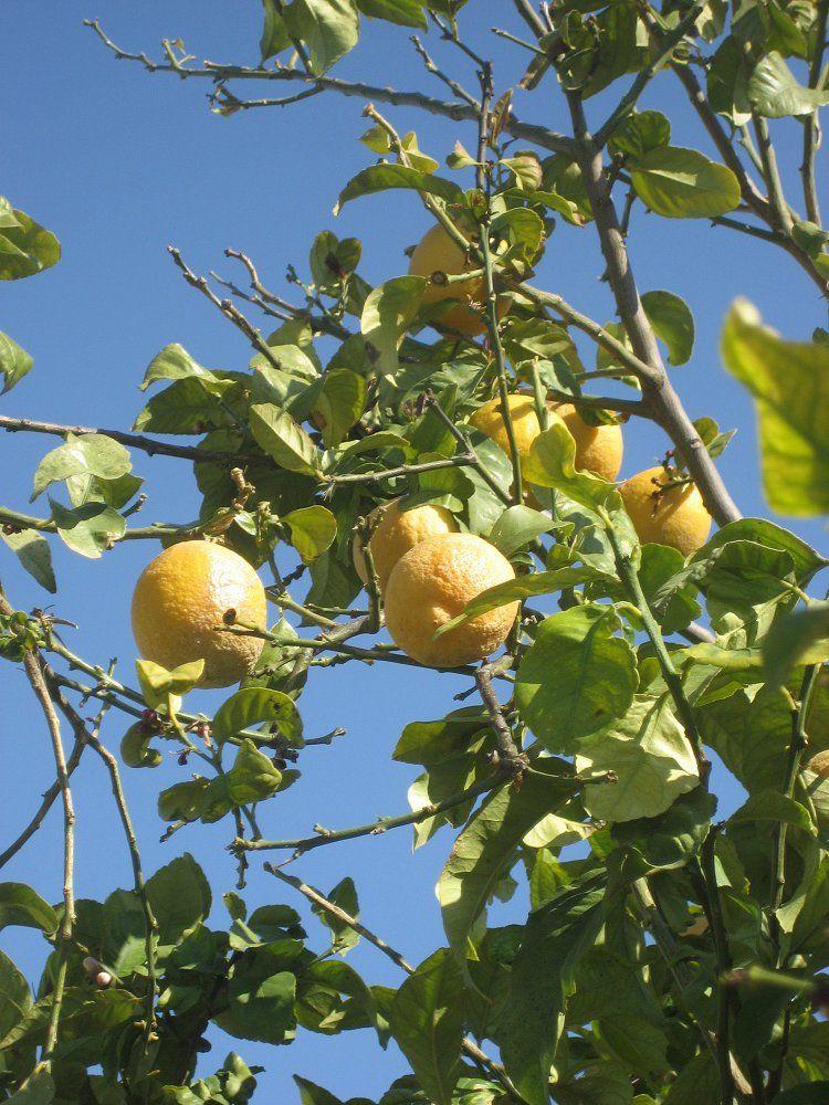 лимоны.jpg