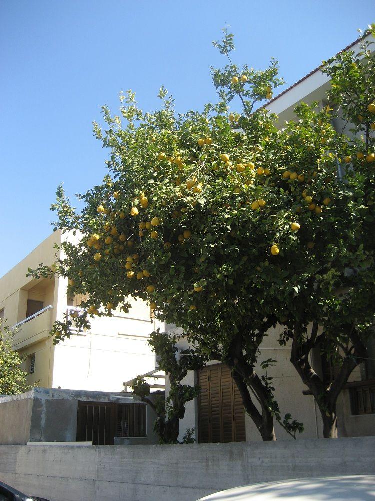 лимоны 2.jpg